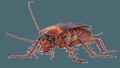 blattes et cafards à Annecy | Saded Savoie